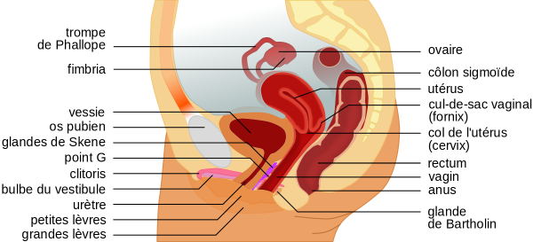 Schéma de l'appareil génital féminin